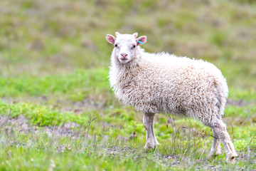 One cute adorable baby young white lamb, Icelandic sheep standing, posing on green grass pasture at farm field, hill in Iceland