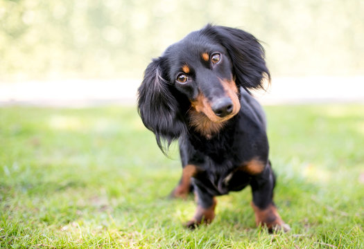 A black and tan Dachshund dog listening with a head tilt