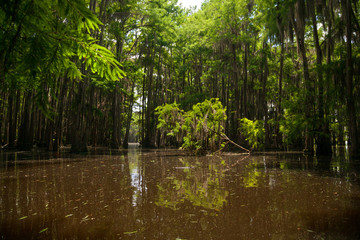 Fallen Young Tree in the Midst of a Cypress Forest on Lake Bistineau Louisiana