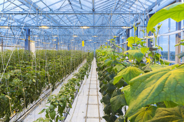 Photo of a modern greenhouse in which vegetable plants are cultivated