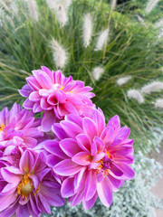 Pink Dahlias Mixed with A Grass With Fuzzy Plumes