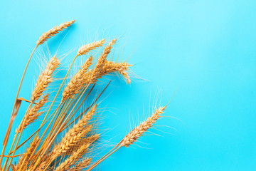 Ripe ears of wheat on blue background