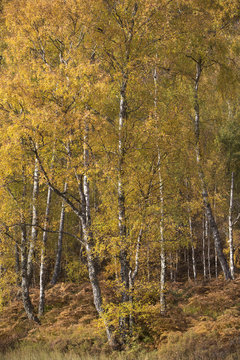 Birch forest in the Cairngorms in Scotland lit by the Autumn sun