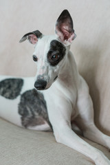 Young Whippet Dog