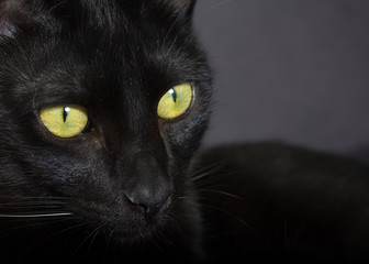 Halloween concept, Black cat. Face of Domestic pet looking to the side