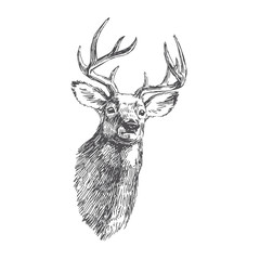 Vector vintage deer head in engraving style. Hand drawn illustration with animal portrait isolated on white