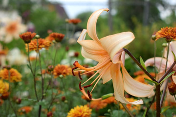 Close-up of a beautiful beige lily in the garden