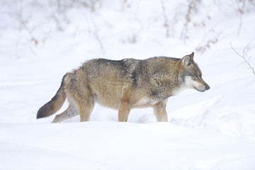 Close-up of a European grey wolf (canis lupus) in winter, Bavarian Forest, Bavaria, Germany