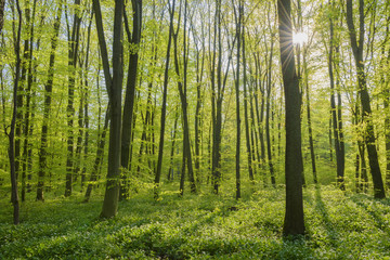 Beech tree (Fagus sylvatica) Forest with sun in Spring, Hesse, Germany