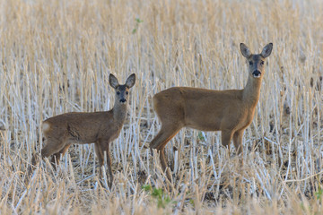 Western Roe Deer (Capreolus capreolus) in Meadow, Doe with Fawn, Hesse, Germany, Europe