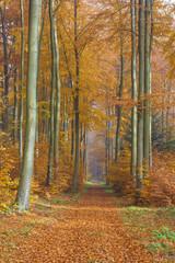 Path through European Beech (Fagus sylvatica) Forest in Autumn, Spessart, Bavaria, Germany