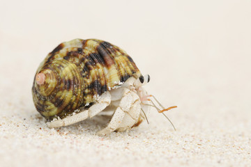 Hermit Crab (Anomura) on Sand at Beach, La Digue, Seychelles