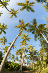 Wide Angle View of Palm Trees against Blue Sky, Bentota, Galle District, Southern Province, Sri Lanka