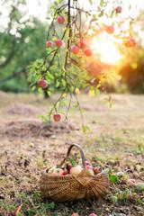 Just picked apples in basket under apple tree