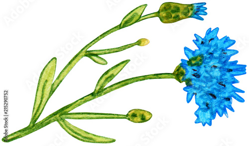 Wild cornflowers with leaves  Illustration hand drawn with