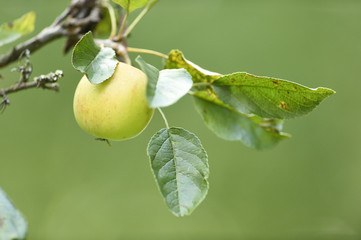 Close-up of an green apple hanging on a tree in summer, Upper Palatinate, Bavaria, Germany
