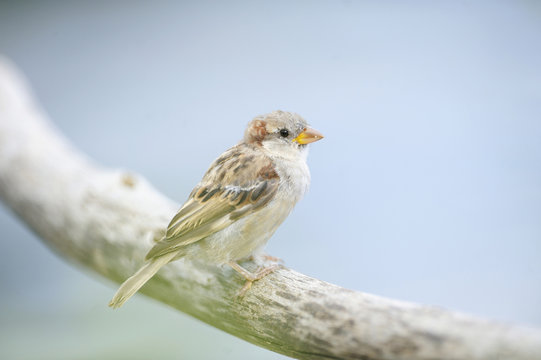 House Sparrow perching on branch