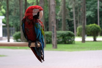parrot red macaw