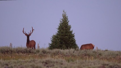 Wall Mural - Two Bull Elk with velvet on their antlers standing next to pine tree on mountain top in Idaho at dusk.