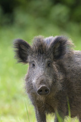 Male Wild Boar looking at camera
