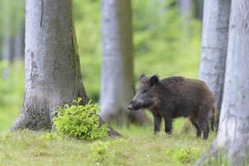 Male Wild Boar (Sus scrofa), Spessart, Bavaria, Germany