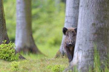 Wild Boar (Sus scrofa) standing behind tree in forest, Germany