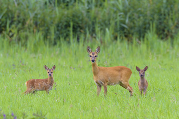 Roe Deer (Capreolus capreolus) Doe with Fawns on Meadow, Hesse, Germany