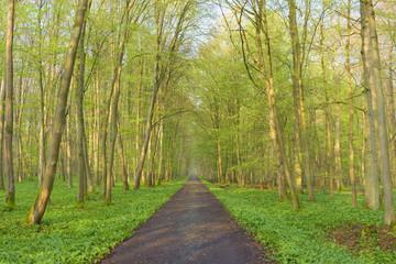Path through European Beech (Fagus sylvatica) Forest, Hesse, Germany