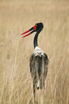 Saddle-billed stork in grass, Okavango Delta, Botswana, Africa