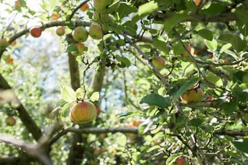 Jonathan apple ripening on a tree.