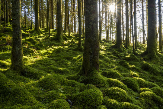 Moss covered ground and tree trunks in a conifer forest with the sun shining through at Loch Awe in Argyll and Bute in Scotland
