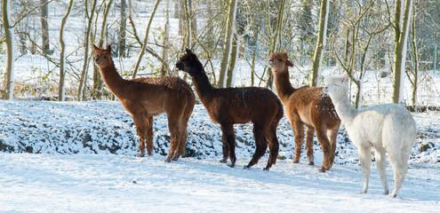 Alpaca in the Snow