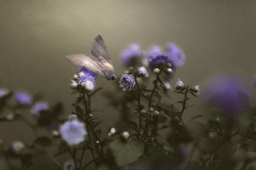 A white moth hovers over violet campanula roses