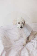 White poodle wearing dog cone sitting on a bed