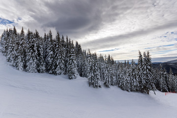 Winter landscape with Pines covered with snow in Rhodope Mountains near pamporovo resort, Smolyan Region, Bulgaria