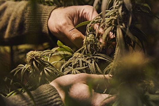 a person checking their marijuana plant