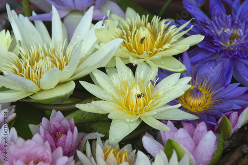 Colorful lotus flowers blooming stock photo and royalty free images colorful lotus flowers blooming mightylinksfo