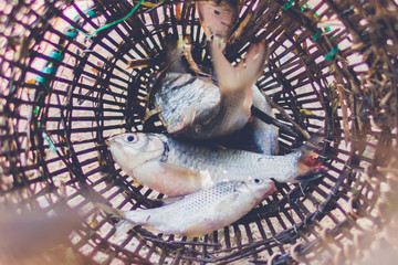 fish in thai traditional fish trap