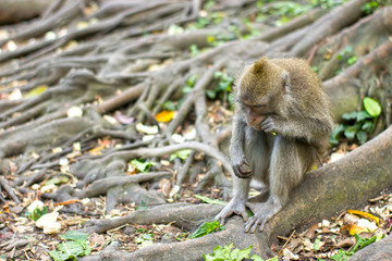 Monkey sits on the roots of a tree and eats a fresh leaf