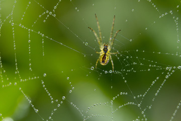 The spider sits on a web covered with drops of dew.