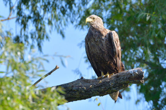 White Tailed Eagle on a branch