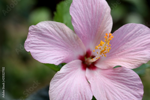 Closeup Of Purple Hibiscus Flower Revealing Male And Female