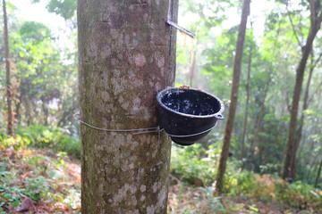 Hevea brasiliensis Rubber tree