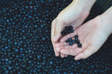 Hands holding fresh wild blueberries picked in forest on blueberries heap background.  Healthy and delicious wild summer fruits season concept.