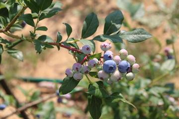 blueberry bush in the garden