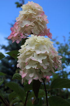 pink hydrangea flowers with white , Fraise melba