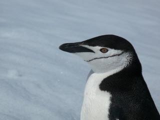 Chinstrap penguin close up