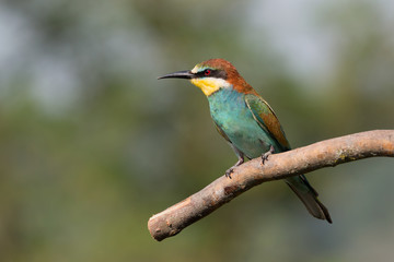 Gruccione (Merops Apiaster)