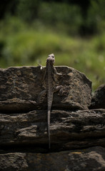Portrait of the Lizard