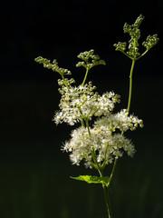 Meadowsweet aka Mead Wort backlit by sun, Filipendula ulmaria.